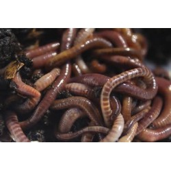 Fresh Worms Tub approx 20 warms ( Small tub )